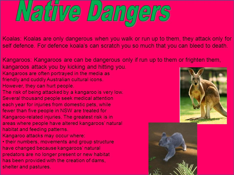 Koalas: Koalas are only dangerous when you walk or run up to them, they attack only for self defence.