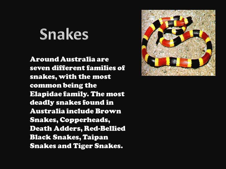 Around Australia are seven different families of snakes, with the most common being the Elapidae family.