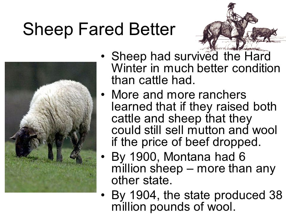 Sheep Fared Better Sheep had survived the Hard Winter in much better condition than cattle had.