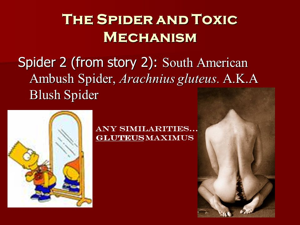 The Spider and Toxic Mechanism Spider 2 (from story 2): South American Ambush Spider, Arachnius gluteus. A.K.A Blush Spider Any similarities… Gluteus