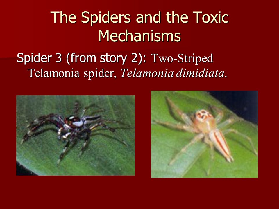 The Spiders and the Toxic Mechanisms Spider 3 (from story 2): Two-Striped Telamonia spider, Telamonia dimidiata.