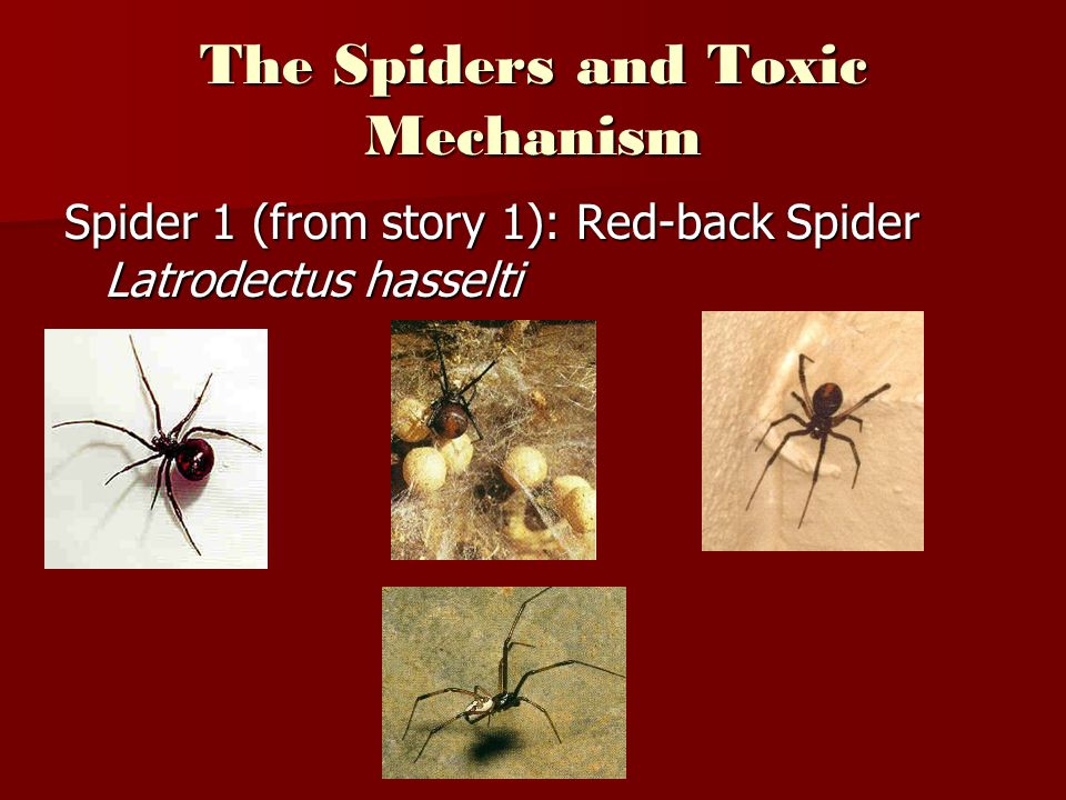 The Spiders and Toxic Mechanism Spider 1 (from story 1): Red-back Spider Latrodectus hasselti