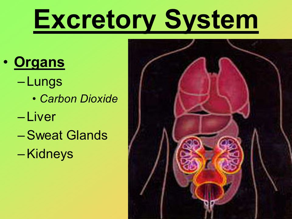 Excretory System Lungs –Remove the waste products of cellular respiration Carbon Dioxide and water vapor