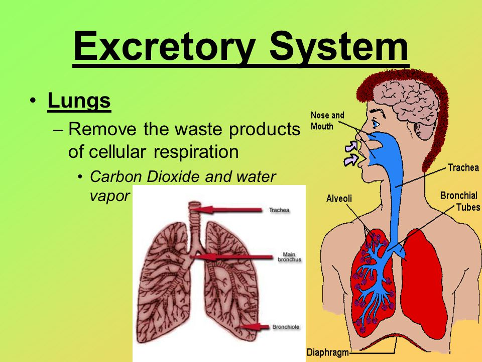 AampP 2 Chapter 23 Respiratory System Flashcards Quizlet 9189353 ...