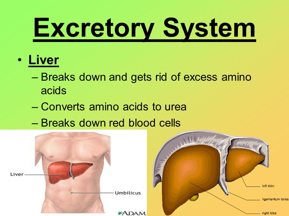 Excretory System Liver –Breaks down and gets rid of excess amino acids –Converts amino acids to urea –Breaks down red blood cells