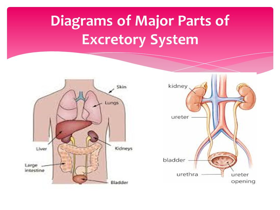 Diagrams of Major Parts of Excretory System