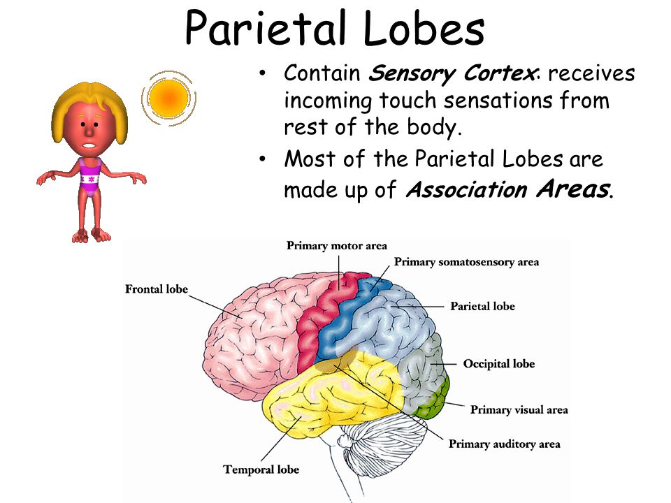 Parietal Lobes Contain Sensory Cortex: receives incoming touch sensations from rest of the body. Most of the Parietal Lobes are made up of Association