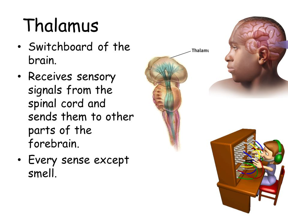 Thalamus Switchboard of the brain. Receives sensory signals from the spinal cord and sends them to other parts of the forebrain. Every sense except sm