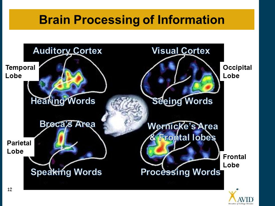 Brain Processing Activity Frontal Lobe Occipital Lobe Temporal Lobe Parietal Lobe Brain Processing of Information 12