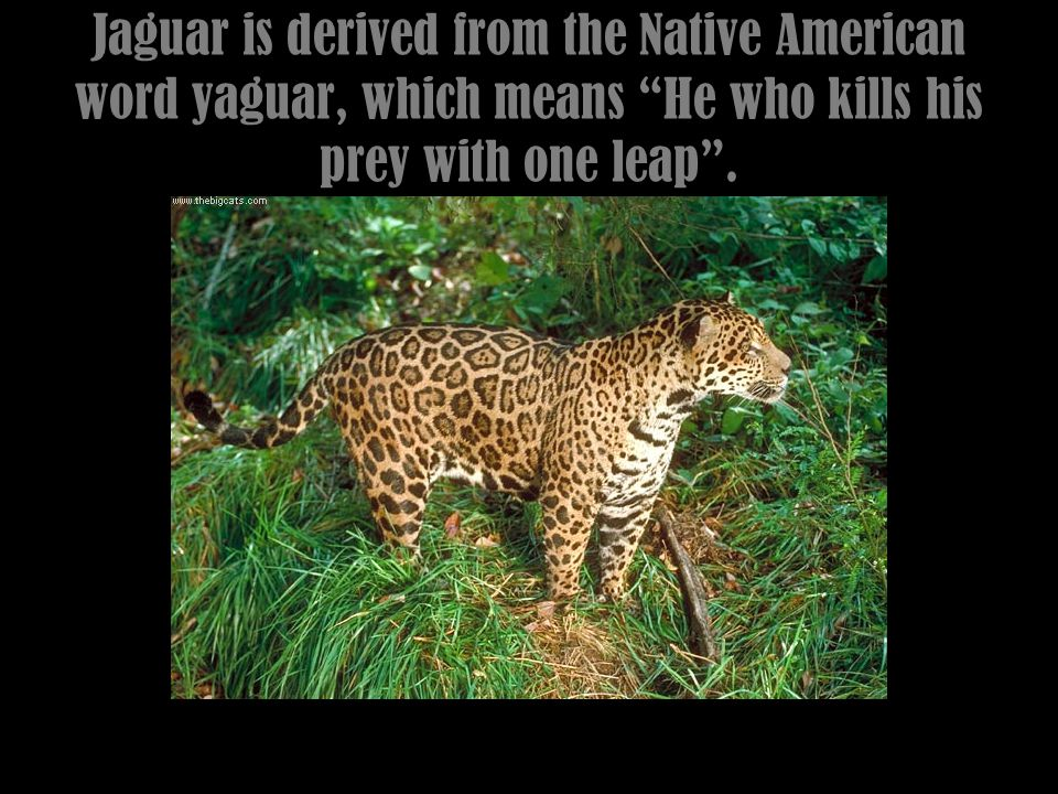Largest of the South American Cats, once roamed the US.