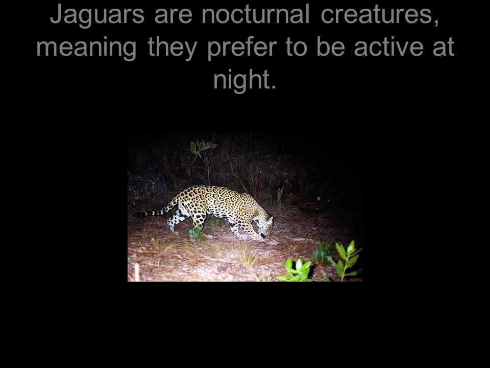 Jaguars mostly take on large prey such as deer, but they are opportunist.