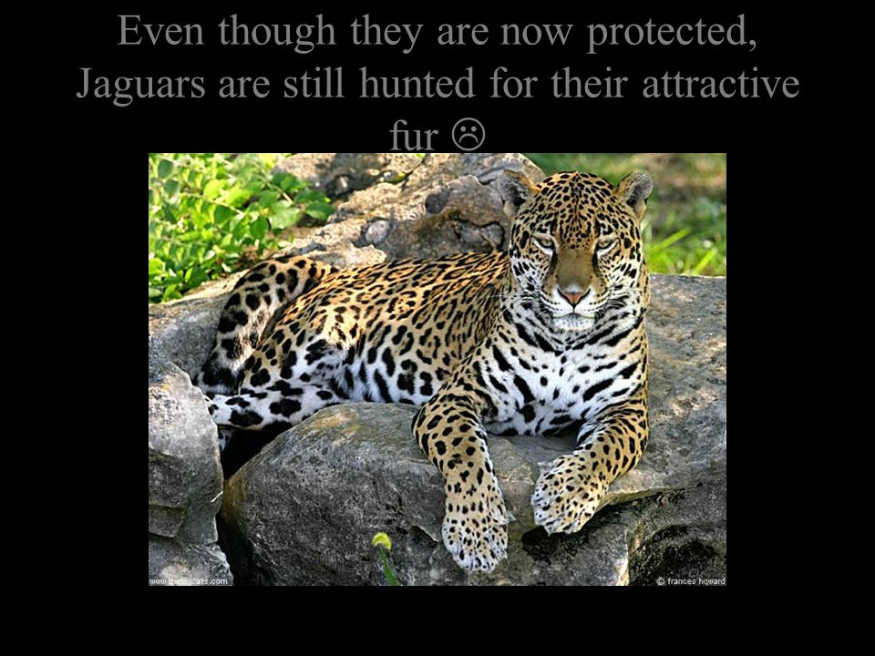 Jaguars are unrivaled hunters, with no enemy except for man.