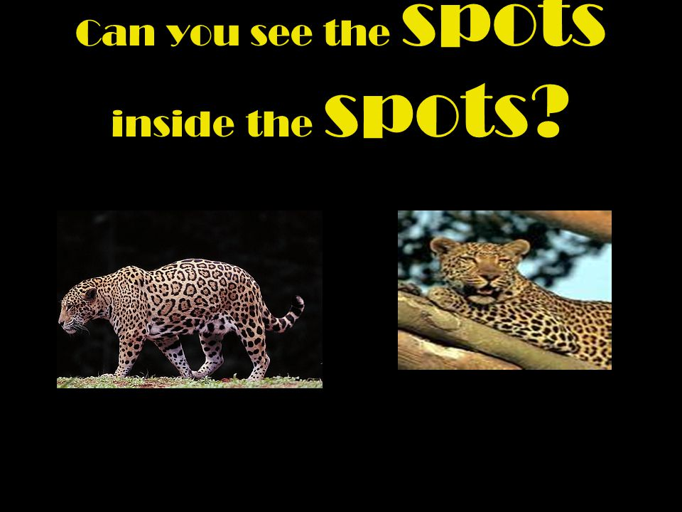 How do you know if you have crossed the path of a Jaguar or a leopard ?