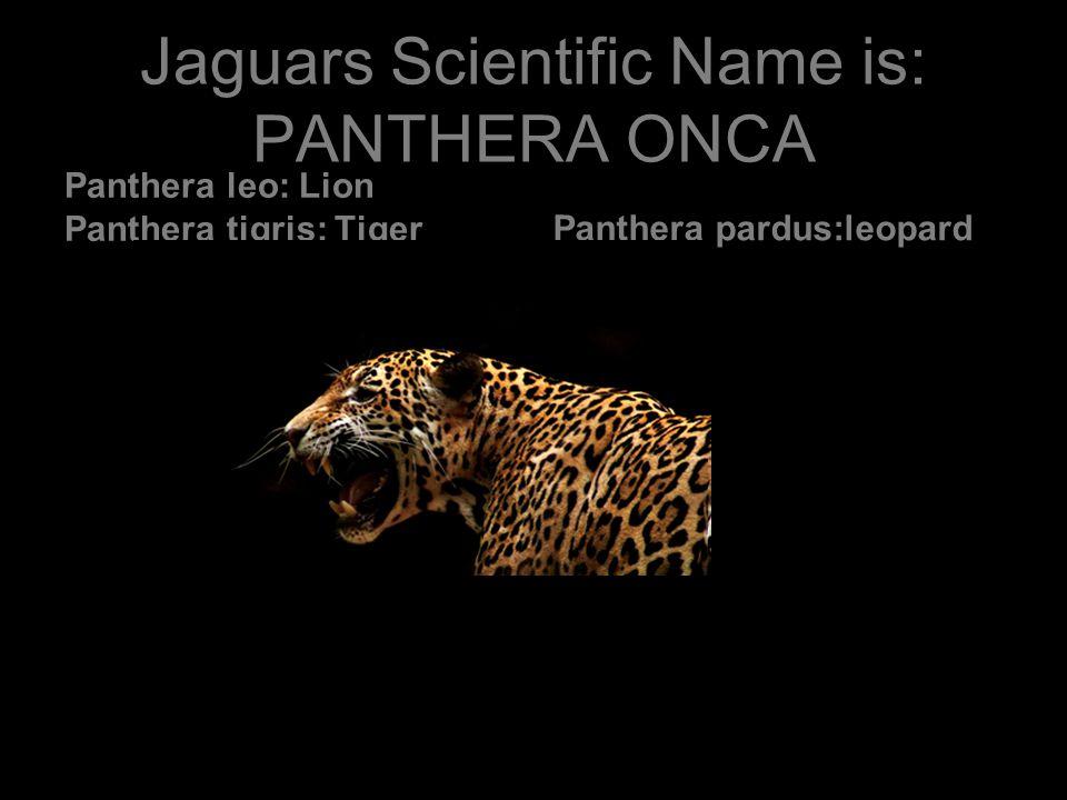 Scientific Names: Puma, Felis, Acinonyx, and PANTHERA