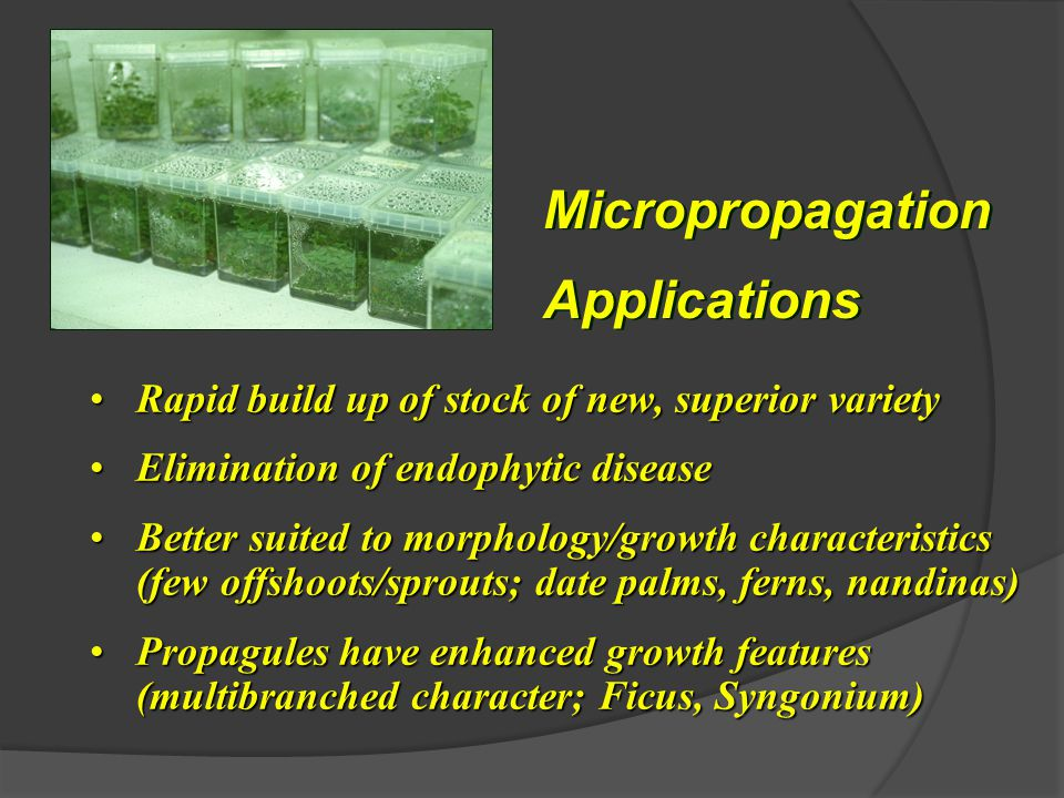 Micropropagation Applications Micropropagation Applications Rapid build up of stock of new, superior varietyRapid build up of stock of new, superior variety Elimination of endophytic diseaseElimination of endophytic disease Better suited to morphology/growth characteristics (few offshoots/sprouts; date palms, ferns, nandinas)Better suited to morphology/growth characteristics (few offshoots/sprouts; date palms, ferns, nandinas) Propagules have enhanced growth features (multibranched character; Ficus, Syngonium)Propagules have enhanced growth features (multibranched character; Ficus, Syngonium)