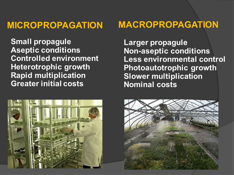 MACROPROPAGATION MICROPROPAGATION Small propagule Aseptic conditions Controlled environment Heterotrophic growth Rapid multiplication Greater initial costs Larger propagule Non-aseptic conditions Less environmental control Photoautotrophic growth Slower multiplication Nominal costs