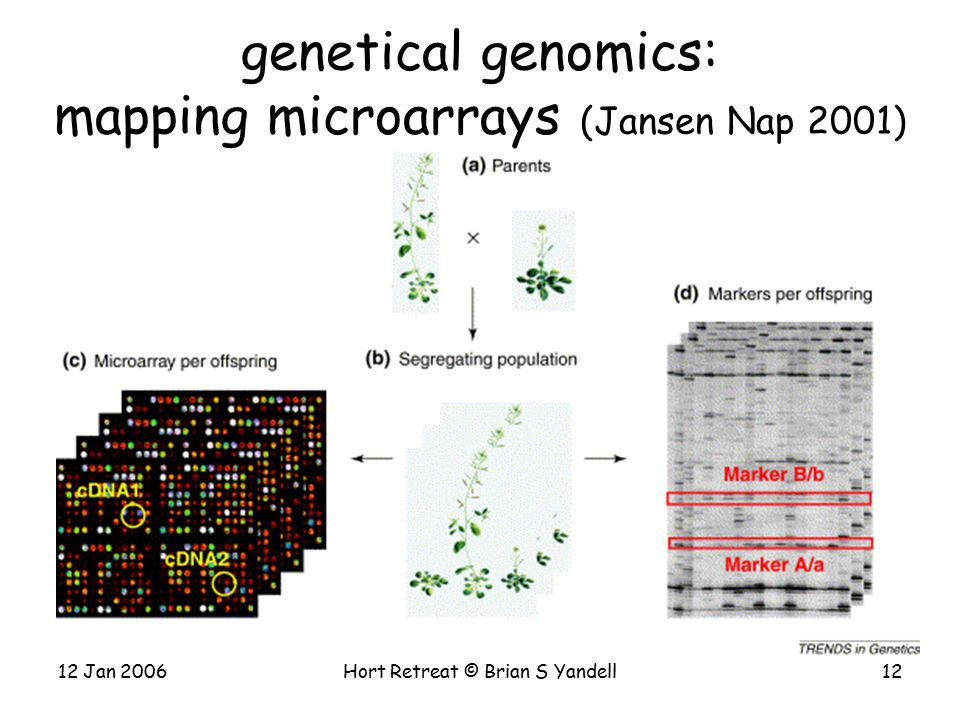 12 Jan 2006Hort Retreat © Brian S Yandell12 genetical genomics: mapping microarrays (Jansen Nap 2001)