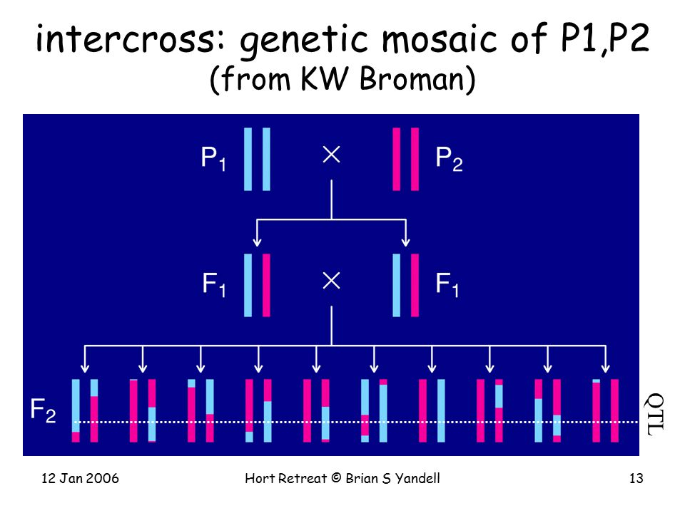 12 Jan 2006Hort Retreat © Brian S Yandell13 intercross: genetic mosaic of P1,P2 (from KW Broman) QTL