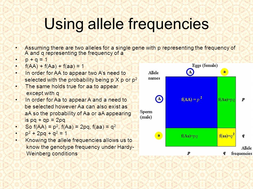 Using allele frequencies Assuming there are two alleles for a single gene with p representing the frequency of A and q representing the frequency of a p + q = 1 f(AA) + f(Aa) + f(aa) = 1 In order for AA to appear two A's need to selected with the probability being p X p or p 2 The same holds true for aa to appear except with q In order for Aa to appear A and a need to be selected however Aa can also exist as aA so the probability of Aa or aA appearing is pq + qp = 2pq So f(AA) = p 2, f(Aa) = 2pq, f(aa) = q 2 p 2 + 2pq + q 2 = 1 Knowing the allele frequencies allows us to know the genotype frequency under Hardy- Weinberg conditions