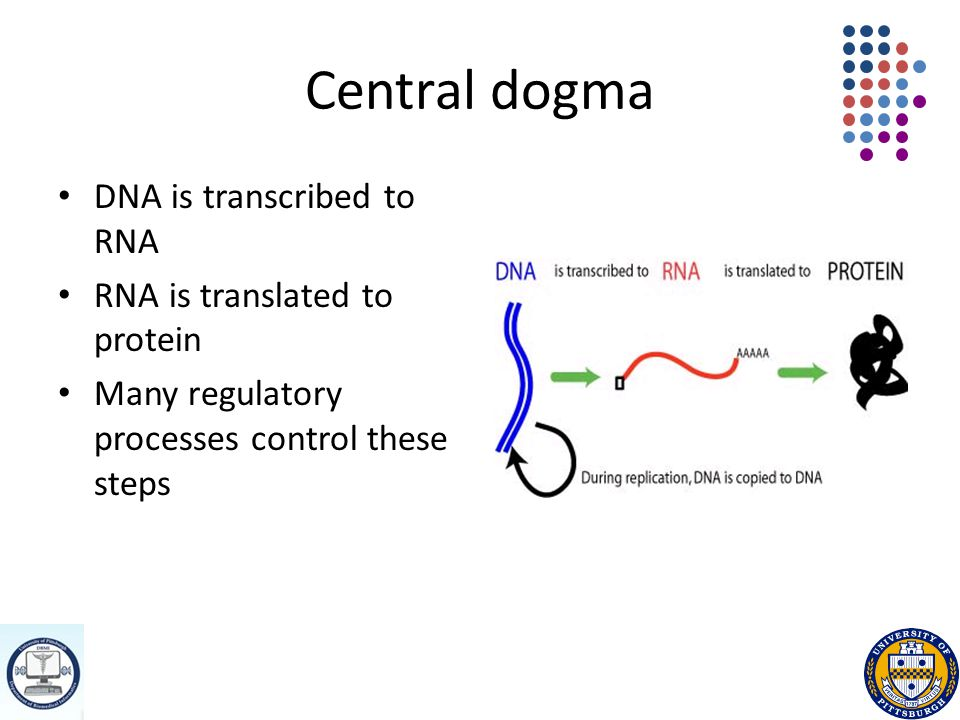 Central dogma DNA is transcribed to RNA RNA is translated to protein Many regulatory processes control these steps