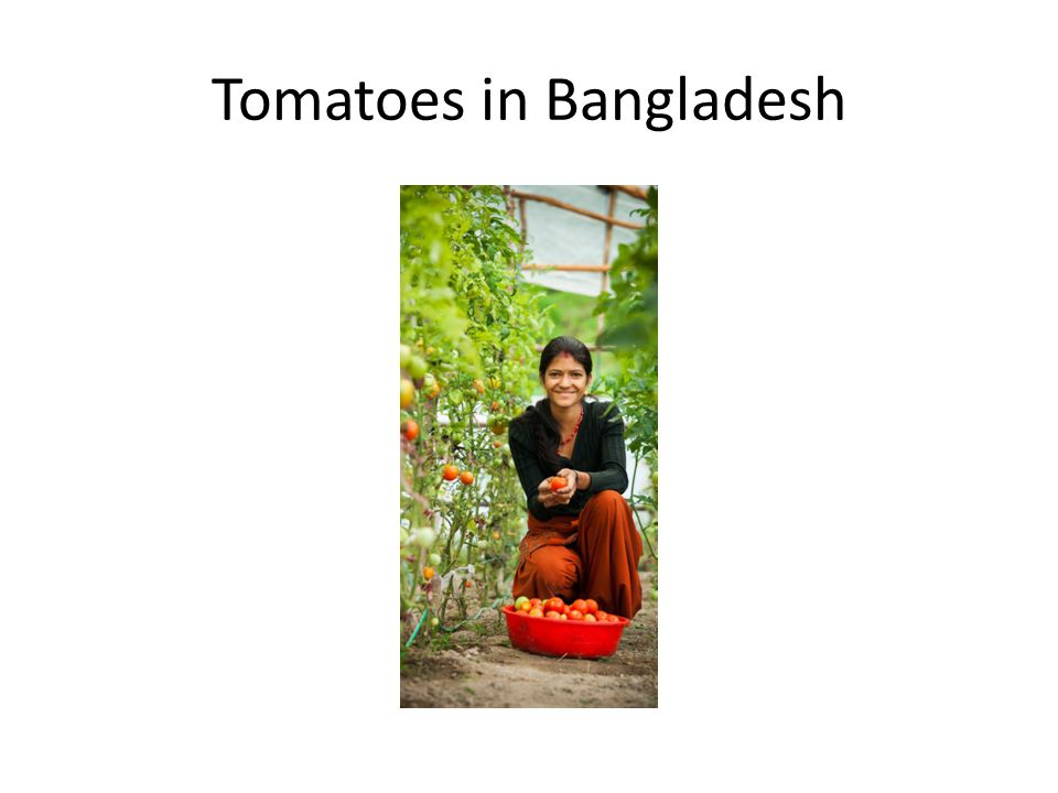 Tomatoes in Bangladesh