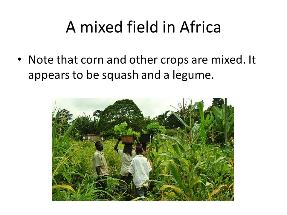 A mixed field in Africa Note that corn and other crops are mixed.