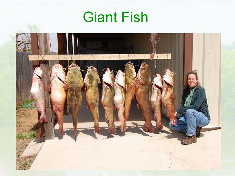 Giant Fish