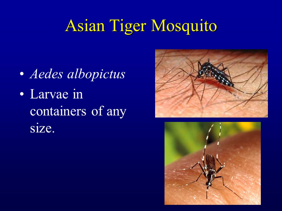Asian Tiger Mosquito Aedes albopictus Larvae in containers of any size.