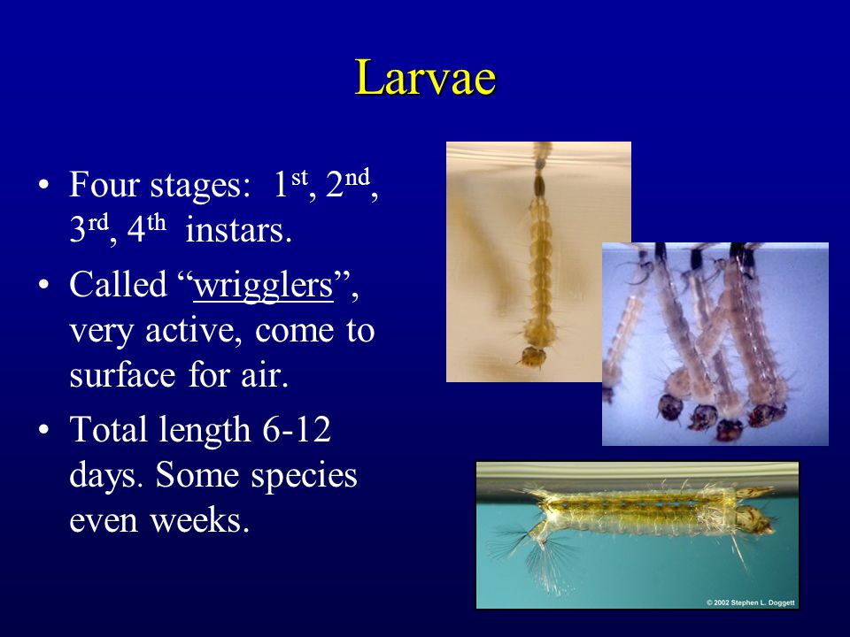 """Larvae Four stages: 1 st, 2 nd, 3 rd, 4 th instars. Called """"wrigglers"""", very active, come to surface for air. Total length 6-12 days. Some species eve"""