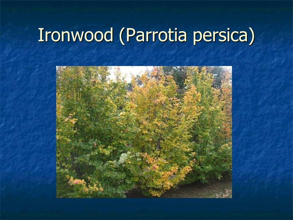 Ironwood (Parrotia persica)