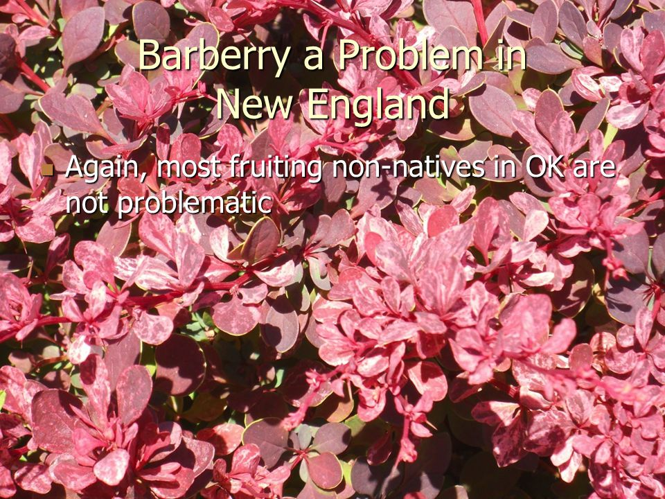 Barberry a Problem in New England Again, most fruiting non-natives in OK are not problematic Again, most fruiting non-natives in OK are not problematic