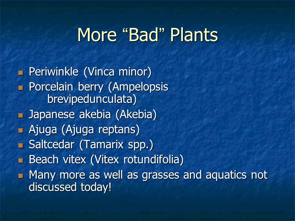 More Bad Plants Periwinkle (Vinca minor) Periwinkle (Vinca minor) Porcelain berry (Ampelopsis brevipedunculata) Porcelain berry (Ampelopsis brevipedunculata) Japanese akebia (Akebia) Japanese akebia (Akebia) Ajuga (Ajuga reptans) Ajuga (Ajuga reptans) Saltcedar (Tamarix spp.) Saltcedar (Tamarix spp.) Beach vitex (Vitex rotundifolia) Beach vitex (Vitex rotundifolia) Many more as well as grasses and aquatics not discussed today.