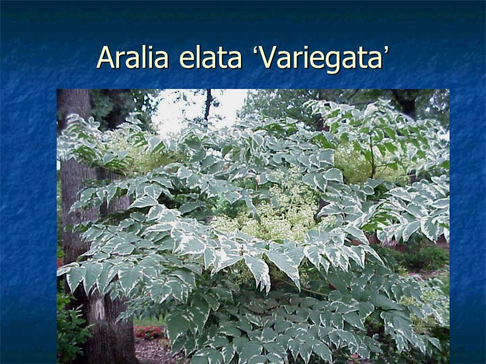 Aralia elata 'Variegata'
