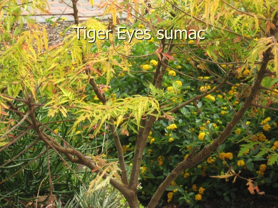Tiger Eyes sumac