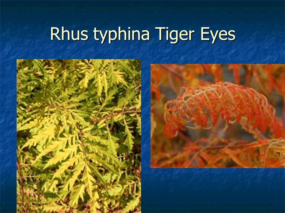 Rhus typhina Tiger Eyes