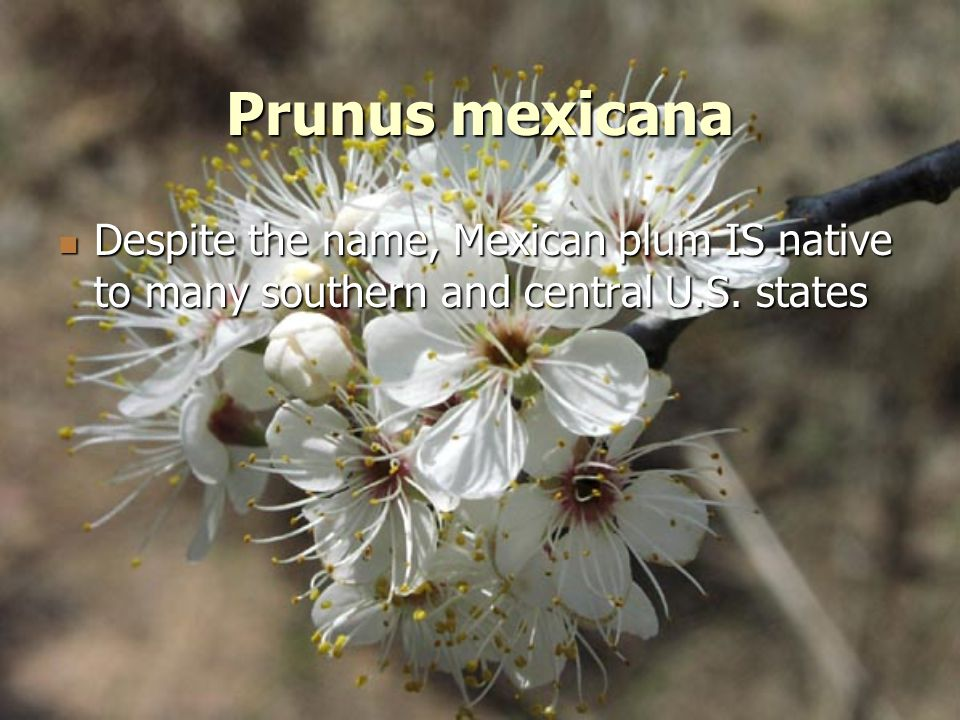 Prunus mexicana Despite the name, Mexican plum IS native to many southern and central U.S. states Despite the name, Mexican plum IS native to many sou
