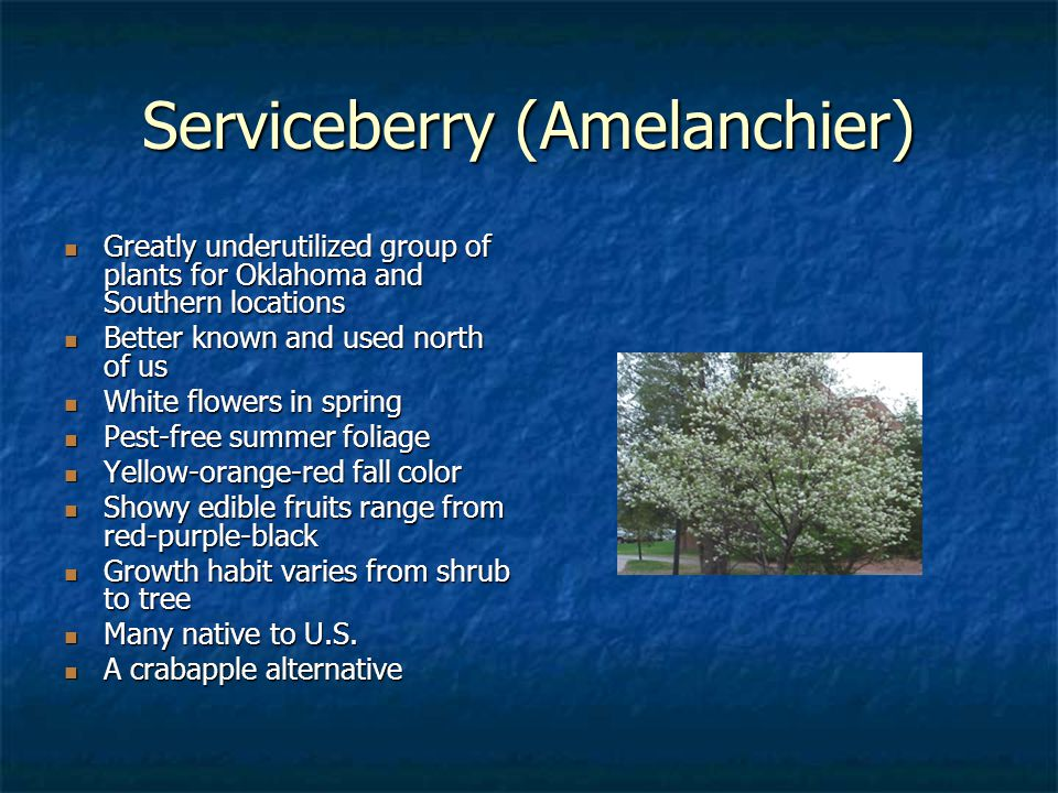 Serviceberry (Amelanchier) Greatly underutilized group of plants for Oklahoma and Southern locations Greatly underutilized group of plants for Oklahom