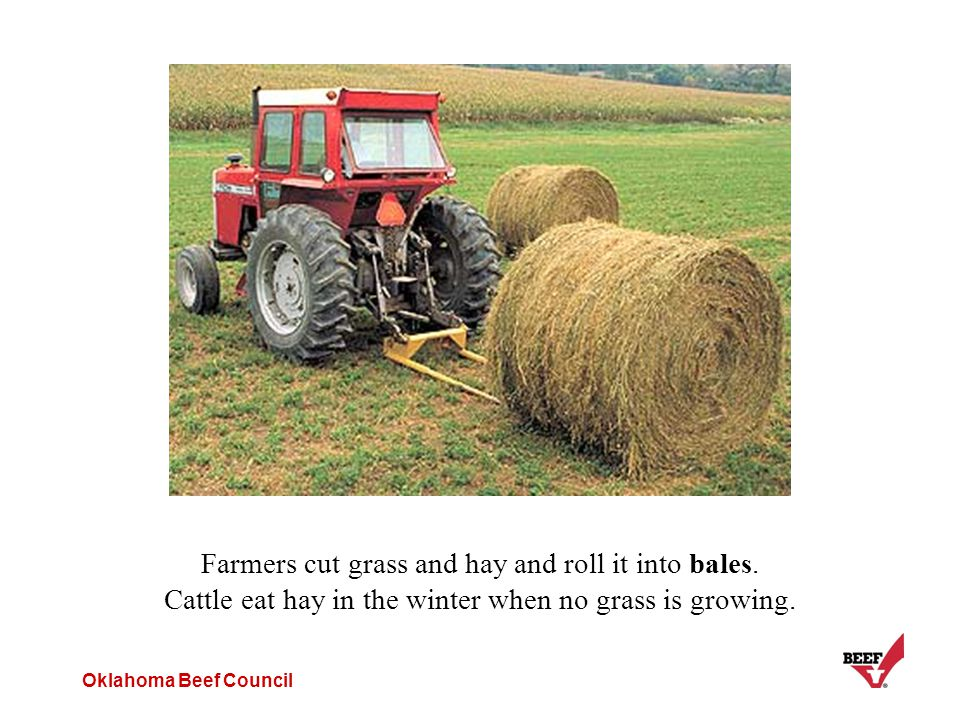 Oklahoma Beef Council Farmers cut grass and hay and roll it into bales. Cattle eat hay in the winter when no grass is growing.