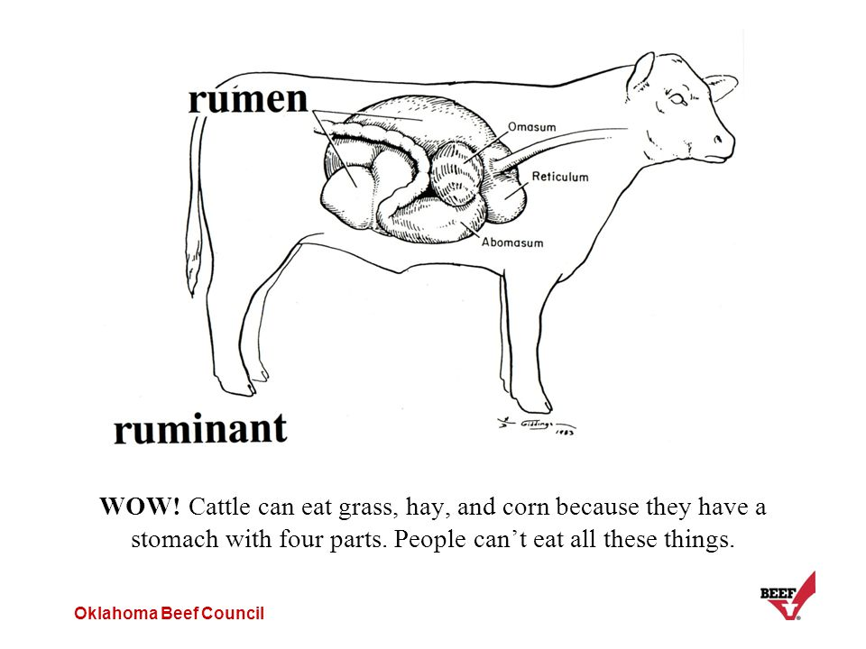 Oklahoma Beef Council WOW! Cattle can eat grass, hay, and corn because they have a stomach with four parts. People can't eat all these things.