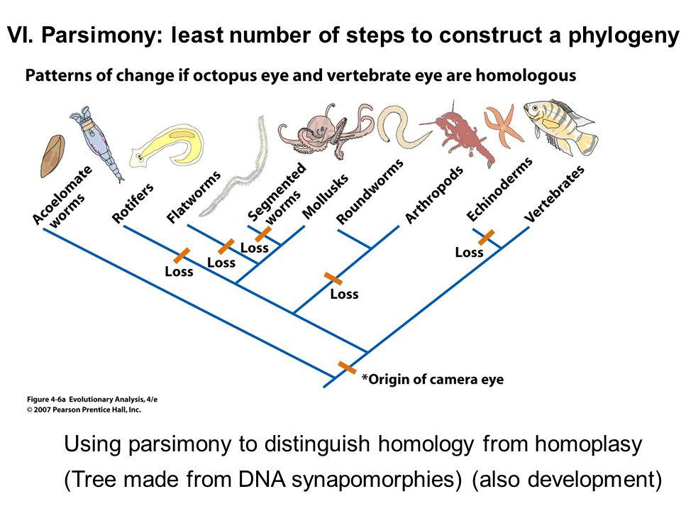 VI. Parsimony: least number of steps to construct a phylogeny Using parsimony to distinguish homology from homoplasy (Tree made from DNA synapomorphie