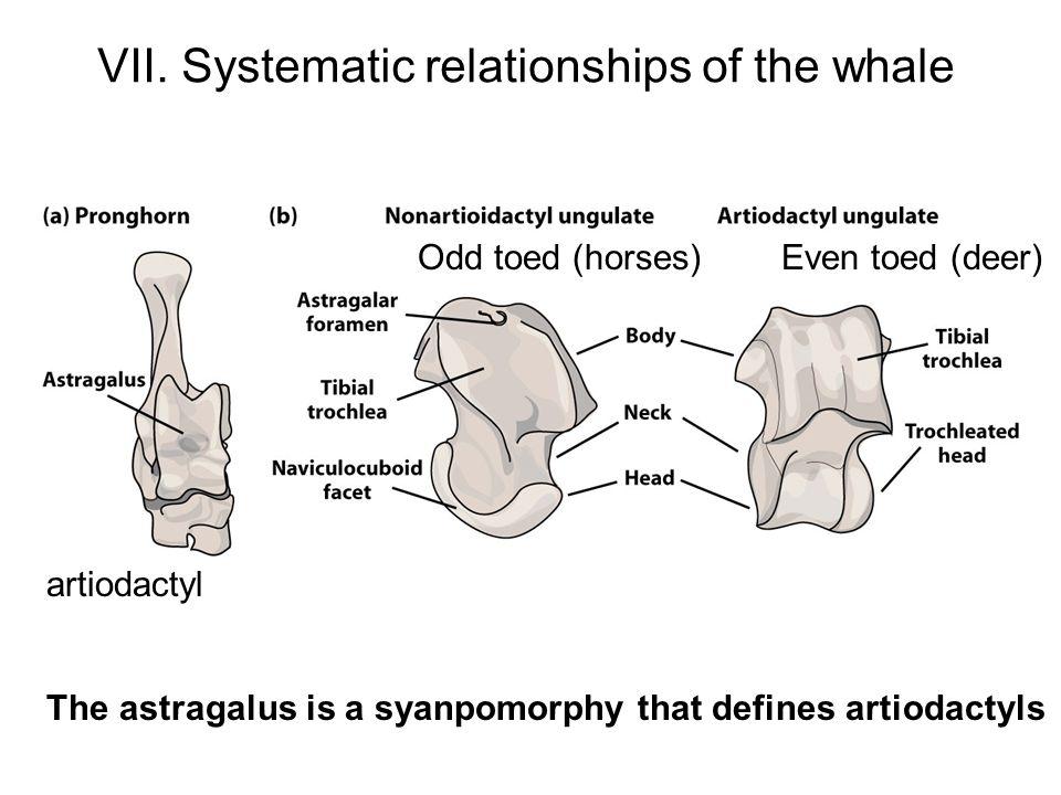 Perissodactyla (horses and rhinos;odd toed).