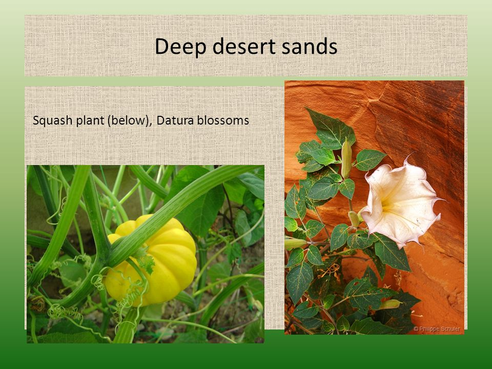 Deep desert sands Squash plant (below), Datura blossoms