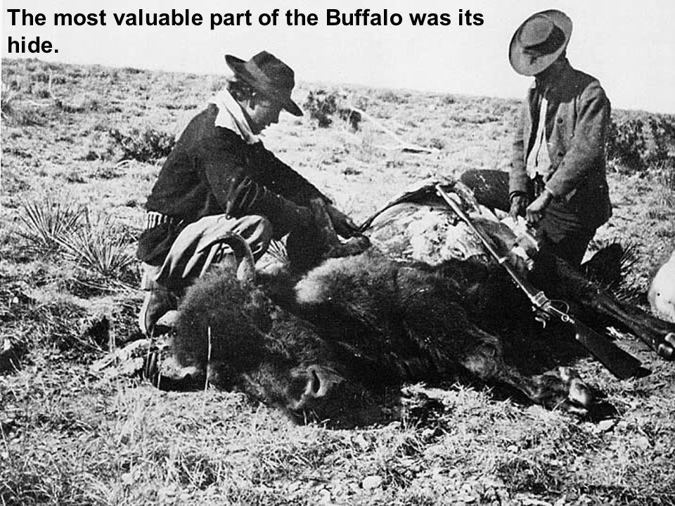 The most valuable part of the Buffalo was its hide.