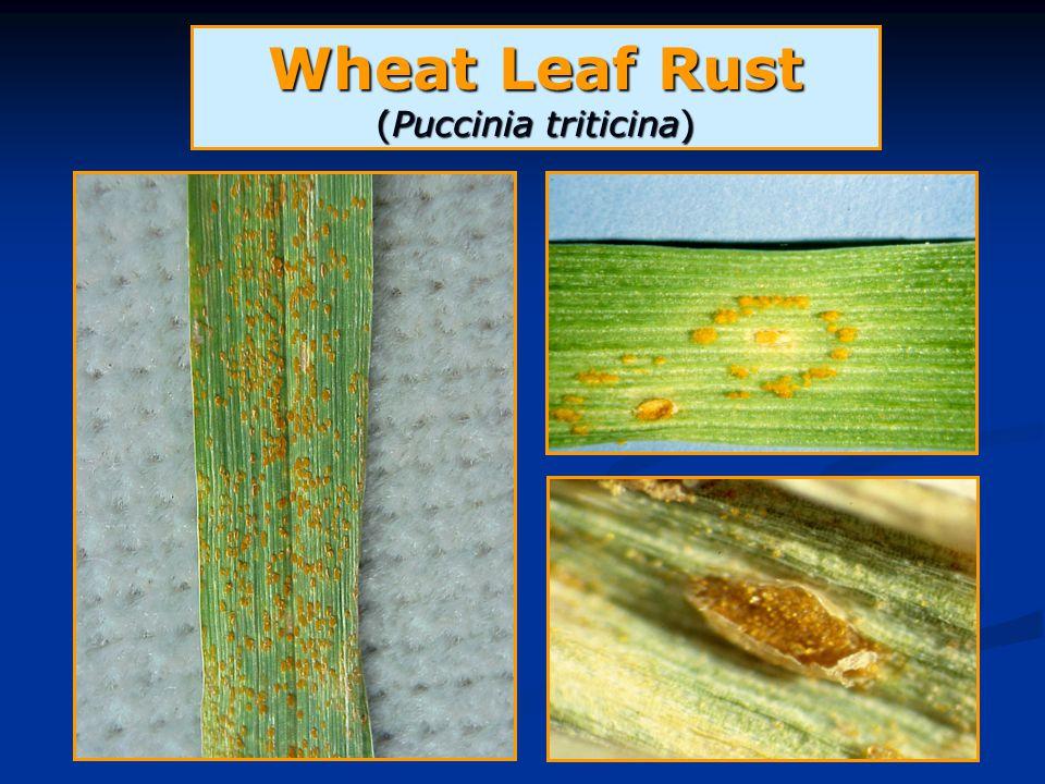 Wheat Leaf Rust (Puccinia triticina)