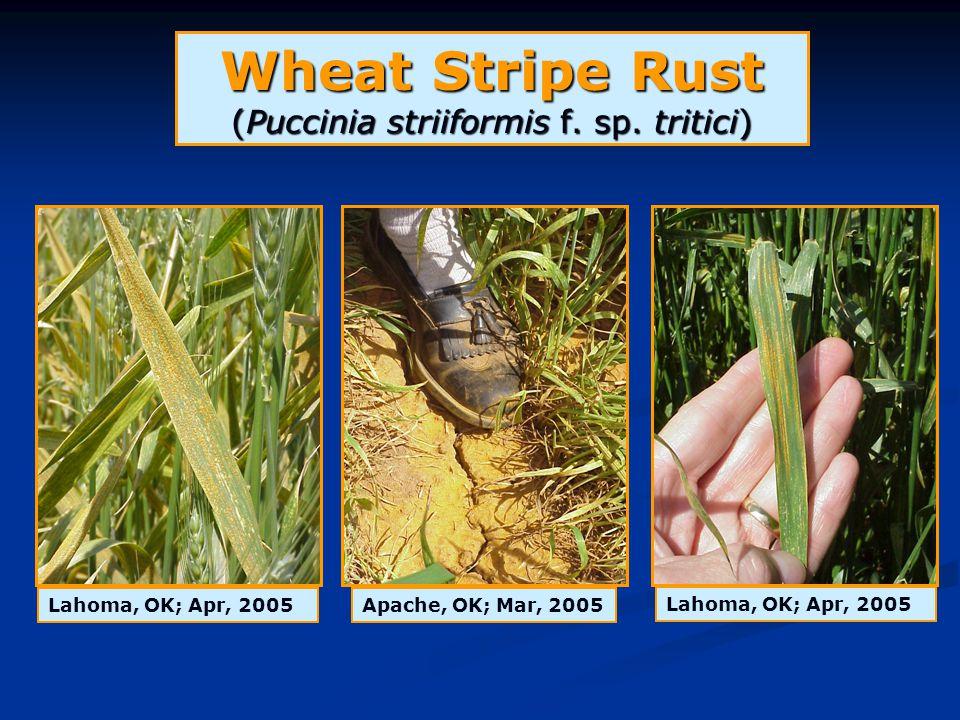 Wheat Stripe Rust (Puccinia striiformis f. sp. tritici) Apache, OK; Mar, 2005Lahoma, OK; Apr, 2005