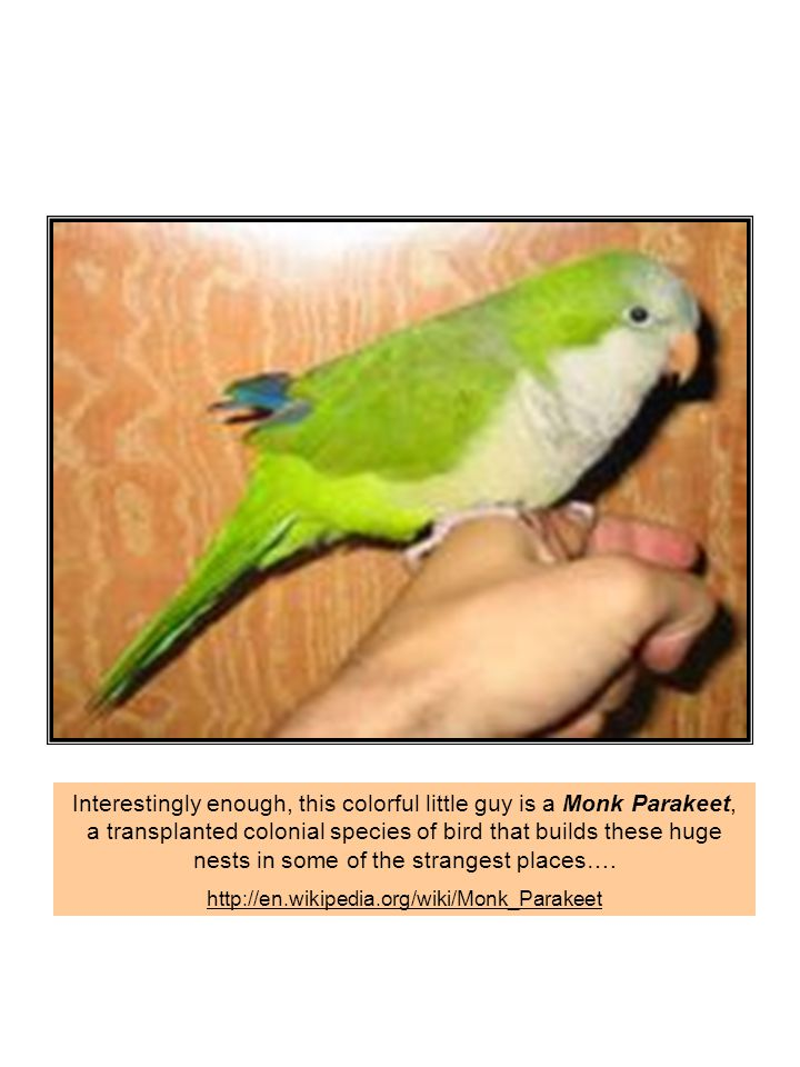Interestingly enough, this colorful little guy is a Monk Parakeet, a transplanted colonial species of bird that builds these huge nests in some of the