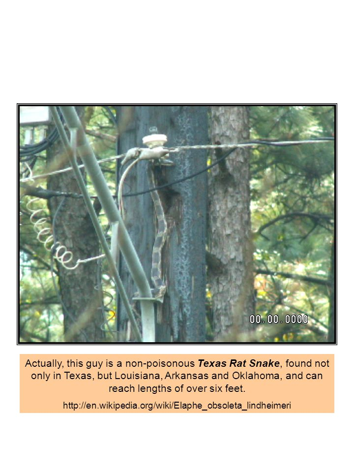 Actually, this guy is a non-poisonous Texas Rat Snake, found not only in Texas, but Louisiana, Arkansas and Oklahoma, and can reach lengths of over si