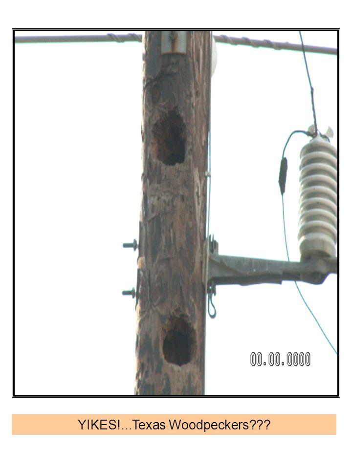 YIKES!...Texas Woodpeckers
