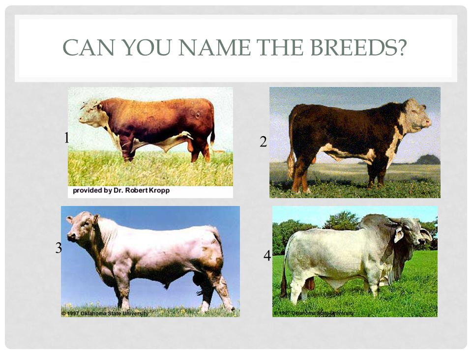 CAN YOU NAME THE BREED 1.Hereford 2.Polled Hereford 3.Charolais 4.