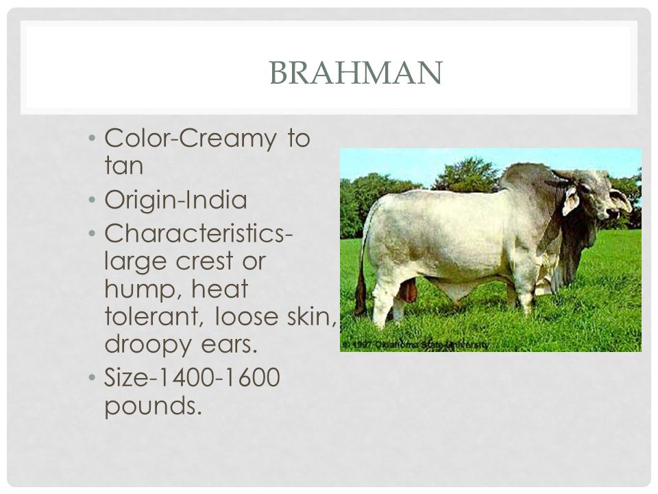 BRAHMAN Color-Creamy to tan Origin-India Characteristics- large crest or hump, heat tolerant, loose skin, droopy ears.
